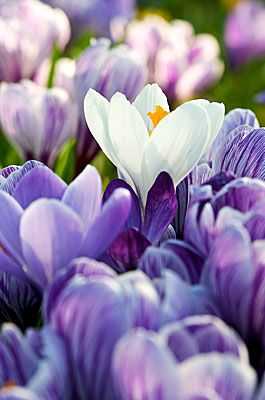 ✯ Crocus 1916 .. By Andy Small✯