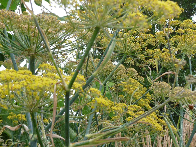 Bronze Fennel Plants Hardy Perennials Perennial Garden 640 x 480
