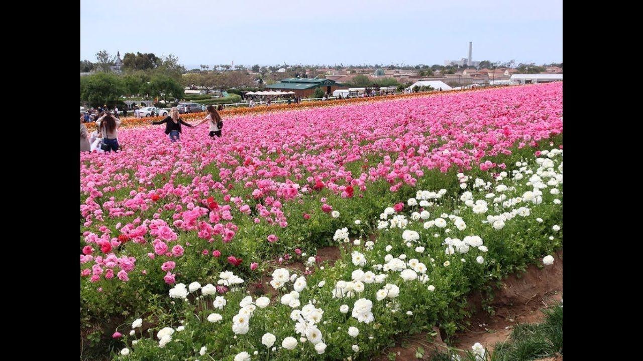 Breathtaking Landscape of Tecolote Giant Ranunculus Flower Fields ...