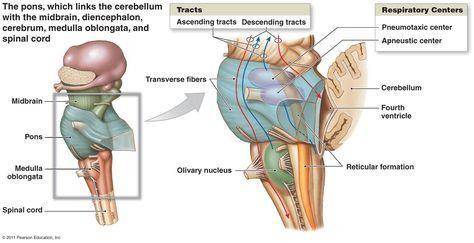 Diagram of cerebral cortex midbrain and brainstem yahoo image diagram of cerebral cortex midbrain and brainstem yahoo image search results ccuart Image collections