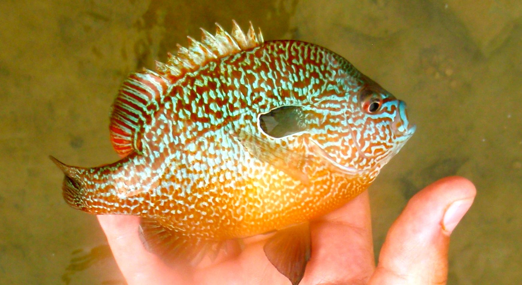 Another look at a pumpkinseed sunfish they are really for Bluegill fish tank