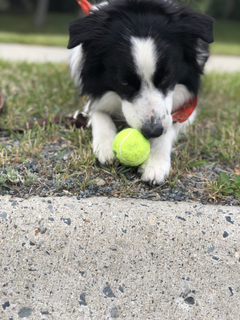 13 Dog Training Games And Exercises With Video Demos Dog