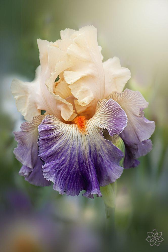 Iris Undercurrant Iris Flowers Beautiful Flowers Flowers Photography