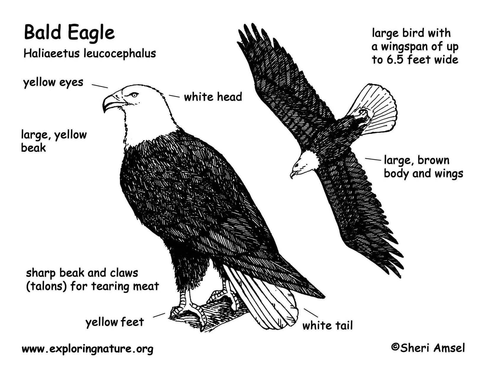 Bald Eagle Track Out Near Cape Alava On The Beach Of The