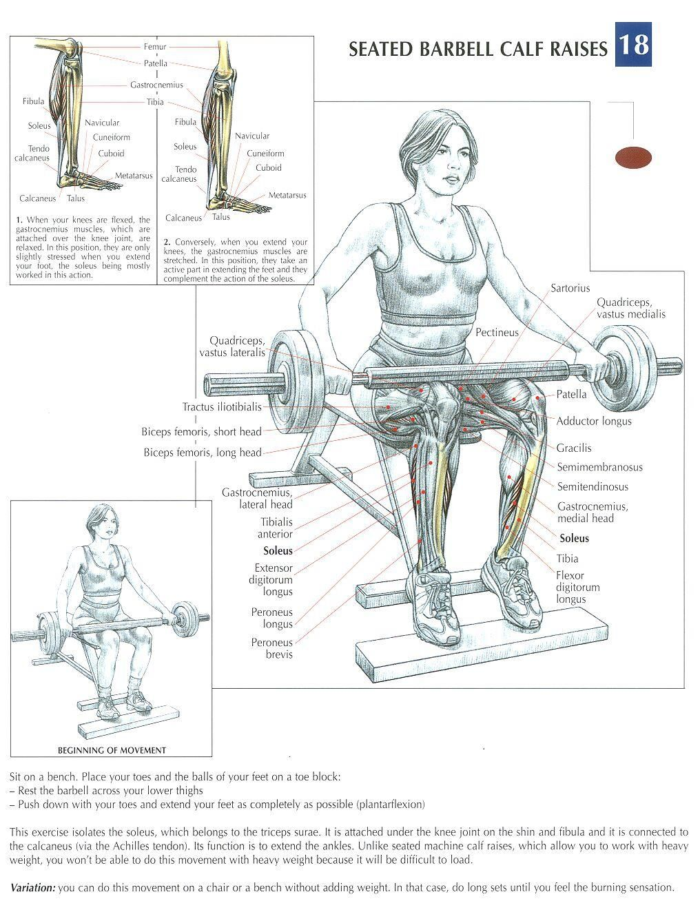Seated barbell calf raises | Desenhos de anatomia | Pinterest ...