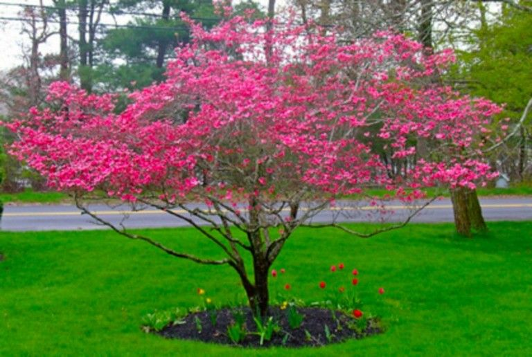63 Lovely Flowering Tree Ideas For Your Home Yard Page 27 Of 65 Landscaping Trees Landscape Trees Dogwood Trees