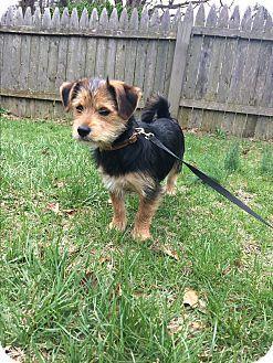 Monroe Ct Yorkie Yorkshire Terrier Schnauzer Miniature Mix Meet Lucy A Puppy For Adoption Http Ww Yorkie Yorkshire Terrier Yorkshire Terrier Terrier