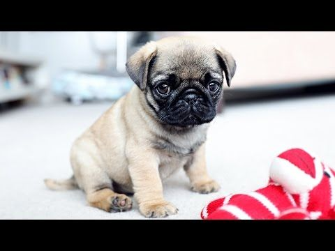 Funny Dogs But Only Pug Videos Pug Compilation 4 Instapugs Youtube Pug Puppies Best Dog Breeds Cute Pug Puppies