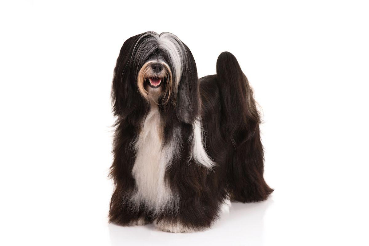 Tibetan Terrier Dog Breed Information Tibetan Terrier Terrier Dog Breeds Terrier