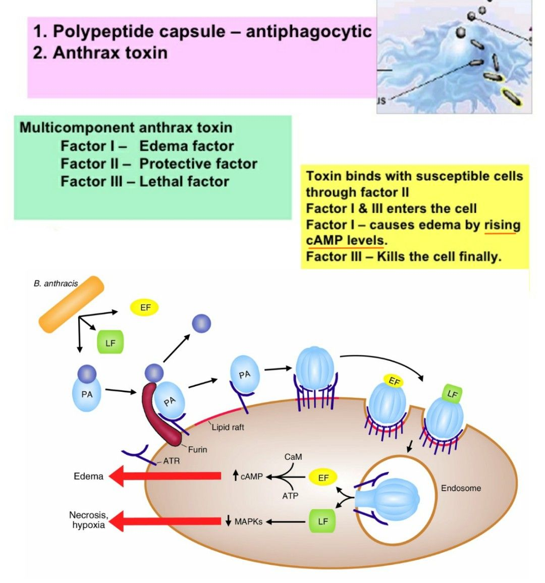 hight resolution of anthrax toxin factor