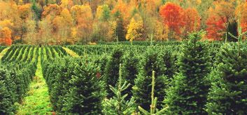Connecticut Christmas Tree Growers Association Growers Christmas Tree Tree