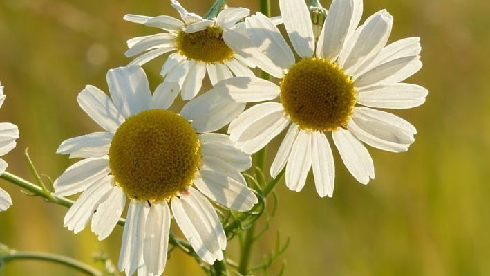Chamomile Health Benefits And Side Effects Chamomile Plant Medicinal Herbs Recipes Chamomiles