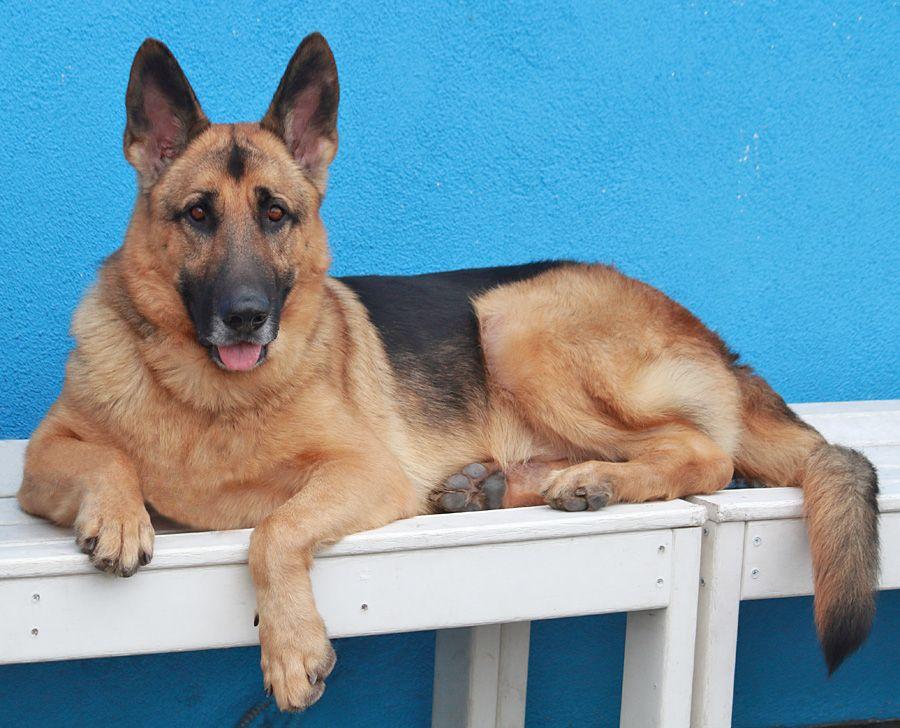 Westside German Shepherd Rescue Of Los Angeles German Shepherd
