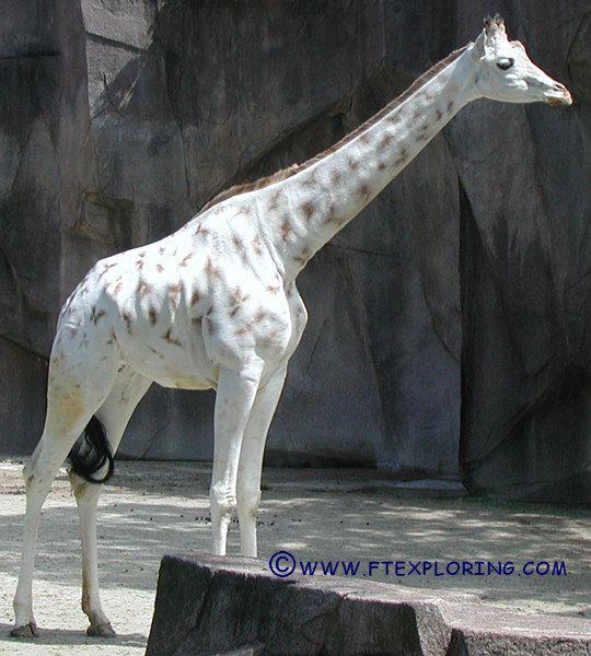 Albino, Giraffe And