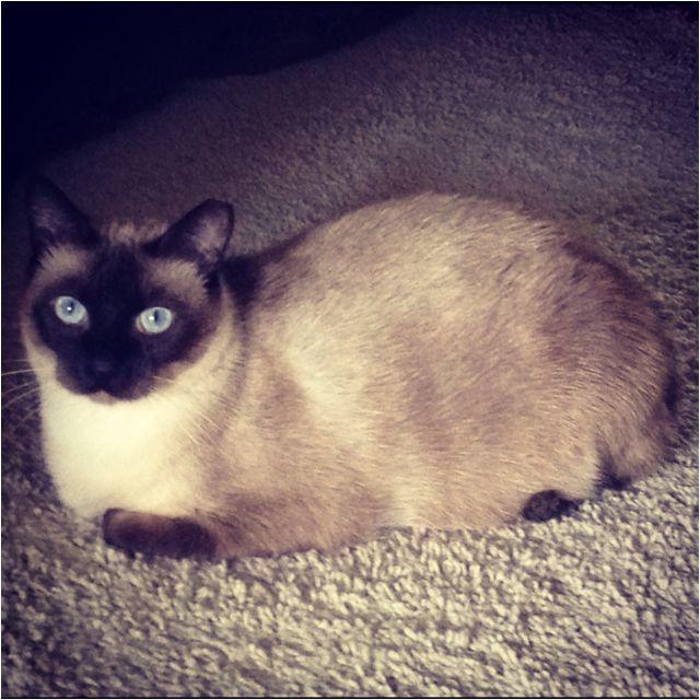 cat diabetes untreated