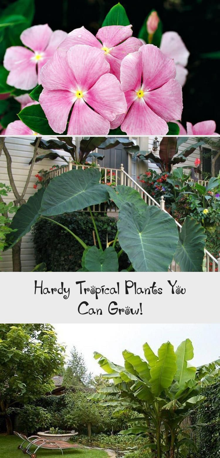 Hardy Tropical Plants You Can Grow! #elephantearsandtropicals We found these hardy tropicals you can grow, just about anywhere! Some of them are pretty hardy in all but the coldest climates. • Hardy Tropical Plants You Can Grow! • Palms, bamboo, elephant ears, banana. Check out these tips! #hardytropicals #hardytropicalplants #hardybananaplant #growhardytropicalplants #gardening #tropicalgardening #tropicalgardenThailand #tropicalgardenTrees #Contemporarytropicalgarden #tropicalgardenPond #t #elephantearsandtropicals