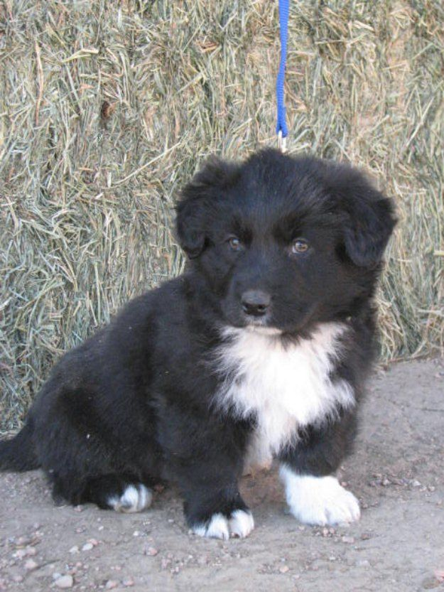 German Shepard Australian Shepard Puppies Images Of Border