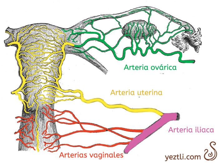 arterias de la matriz | Ginecologia Alternativa | Pinterest ...