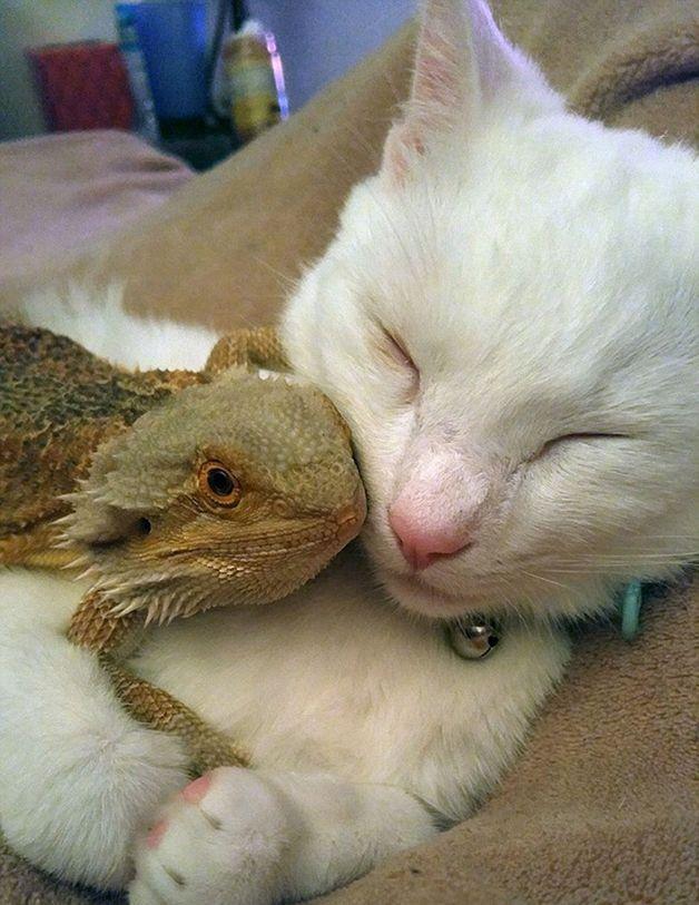 Então algo inacreditável aconteceu: a iguana e o felino peludo se tornaram melhores amigos!A improvável dupla passa os dias junta, brincando, dormindo abraçadas e, até mesmo, passeando juntas.