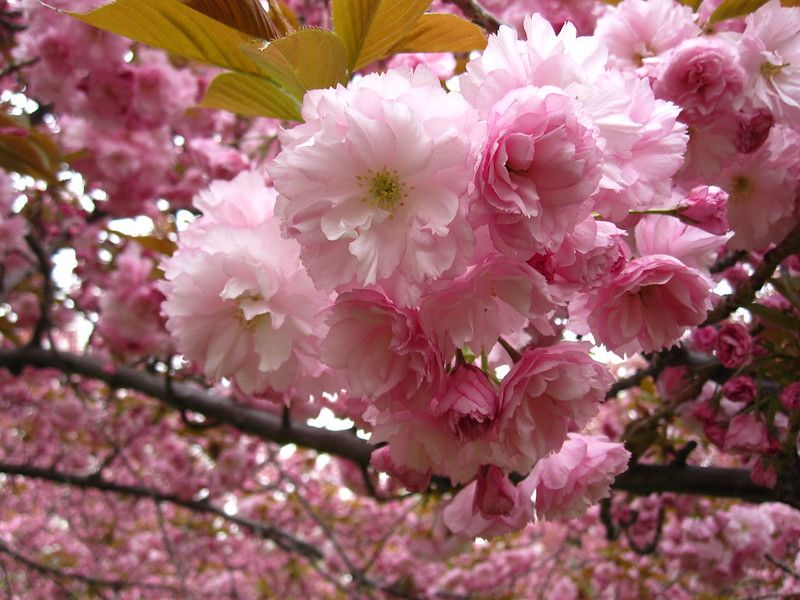 Eight Things You Probably Don T Know About Flowering Cherry Trees Brooklyn Botanic Garden Flowering Cherry Tree Cherry Tree Flowers