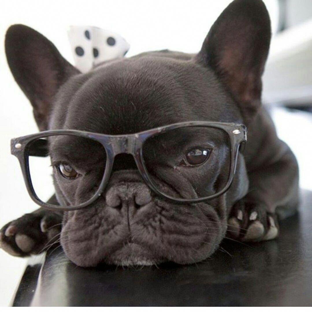 Pin by ja on Very cute Bulldog puppies, Bulldog, French