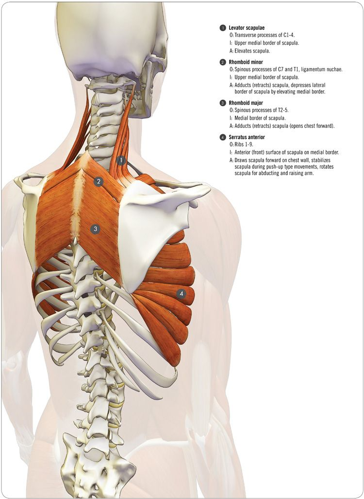 anatomy of the serratus anterior - be sure to check out the animated ...