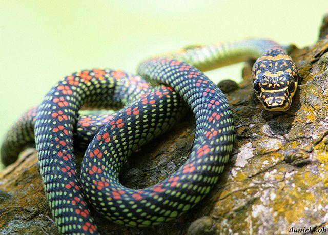 Paradise Tree Snake Snake Wildlife Photography Animals