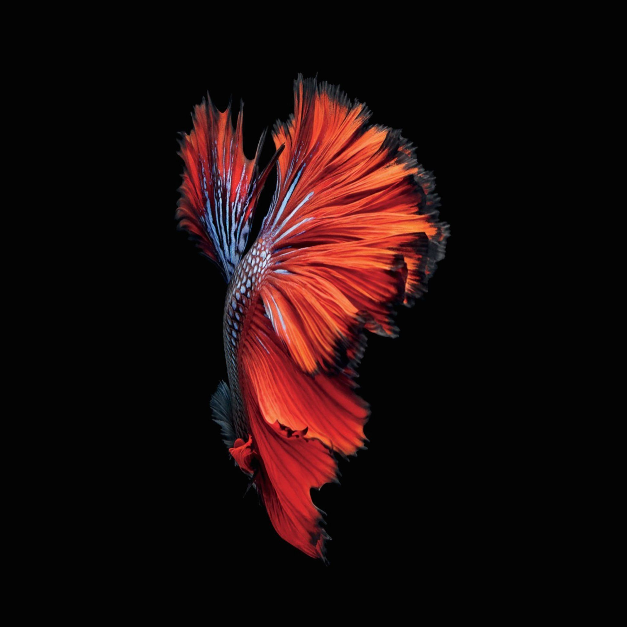 Pink Betta Fish Purple Get The Beautiful Live Wallpapers