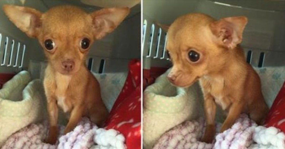 By The Time Rescuers Found Her This Tiny Chihuahua Couldn T Even