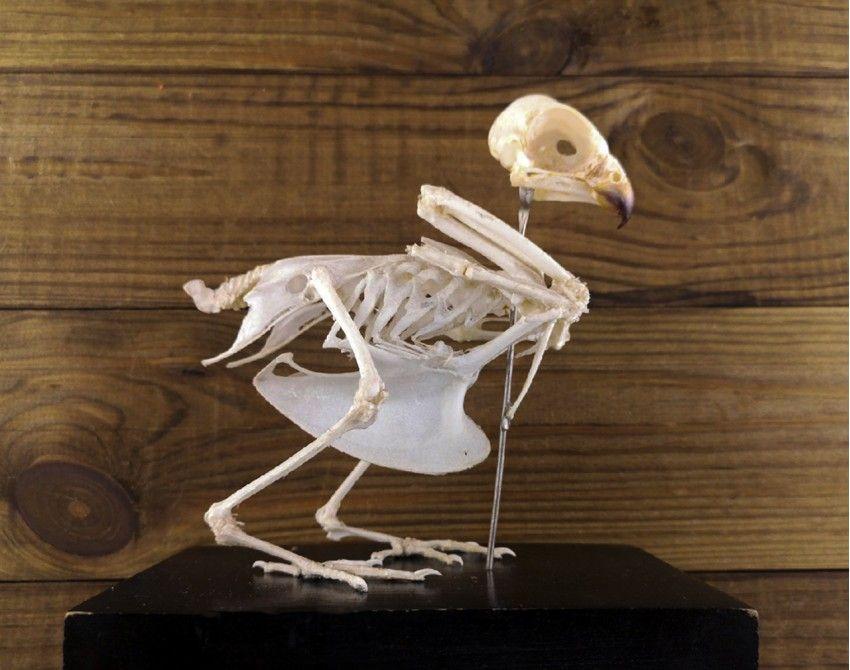 Hawk skeleton taxidermy hawk skull hawk wings hawk bones ...