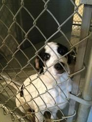Campbell - CRITICAL! is an adoptable Hound Dog in Nashville, NC. ~ URGENT ~ This pet is at what is considered a high kill Shelter. The Shelter is estremely small and the pets have very little time. ...