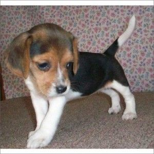 Beagle Puppies For Sale Beagle Breed Profile Beagle Puppy