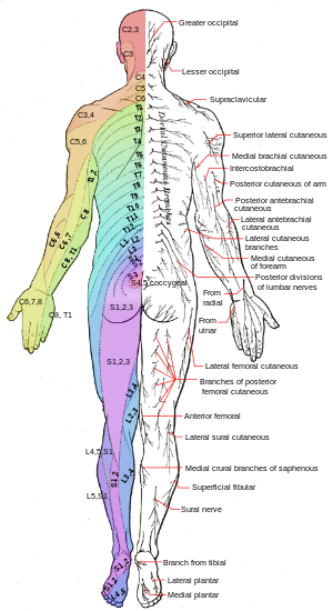 Dermatomes and cutaneous nerves - posterior | Neurology | Pinterest ...