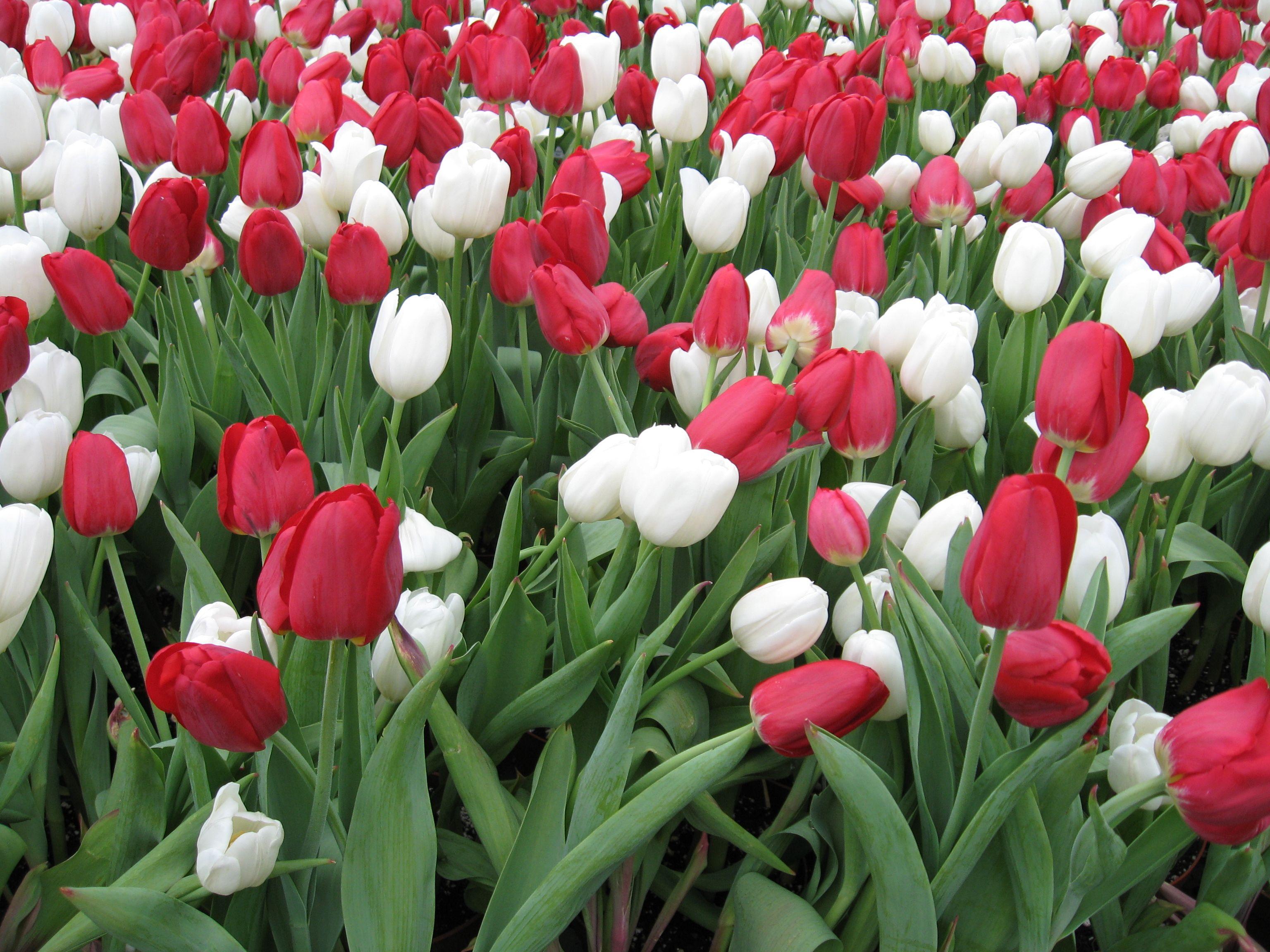 Tulips during the Tulip Festival in Ottawa