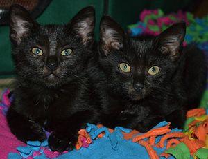 Adopt Kittens Chaplin And Amelia On Kittens Short Hair Black Black Cat