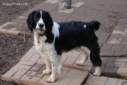 Puppies For Sale At Puppyfind Com Puppies For Sale English Springer Springer Spaniel