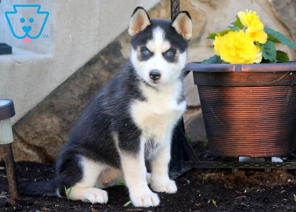 Bean Husky Puppies For Sale Husky Puppy Husky