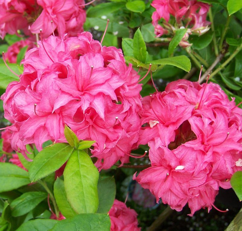 Buy Rhododendron Homebush Deciduous Hybrid Azalea In The Uk Azaleas Rhododendron Flowers