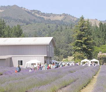 Wine and Lavender together, Yes Please.  Lavender fest in Sonoma!