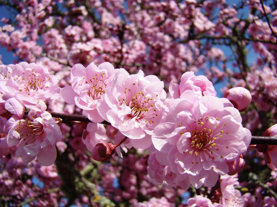 Spring Tree Pink Flower Blossoms Colorful Baslee Troutman By Baslee Troutman Spring Flowering Trees Pink Flowers Wallpaper Pink Spring Flowers