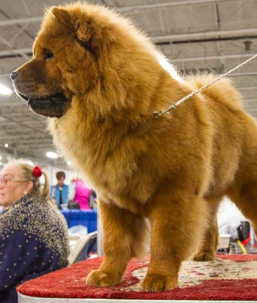 This Chow Chow Looks So Much Like My Beloved Tasha National