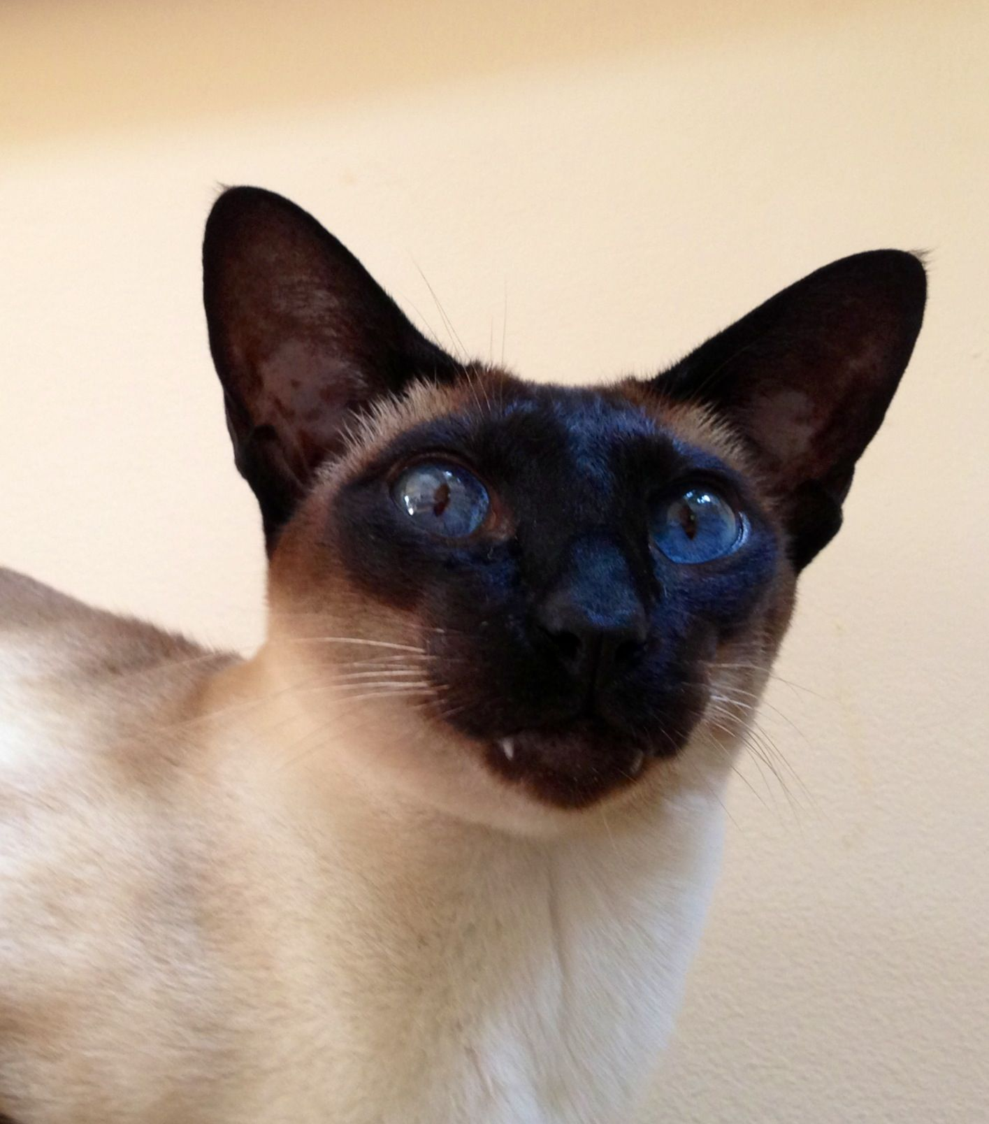 Milia Siamese With Images Cute Animals Siamese Cats Cats