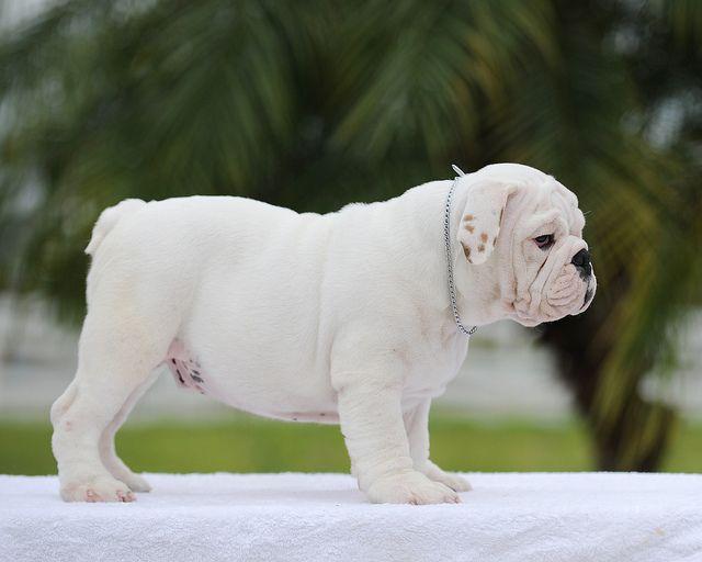 White English Bulldog White Bulldog French Bulldog Blue White