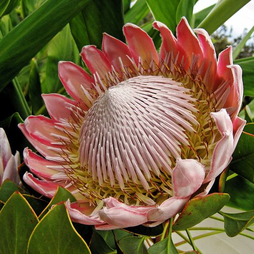 The king protea protea cynaroides is a flowering plant http the king protea protea cynaroides is a flowering plant httpen wikipediawikiproteacynaroides mightylinksfo