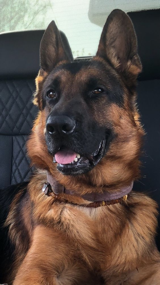 Photo of German Shepherd are Awesome