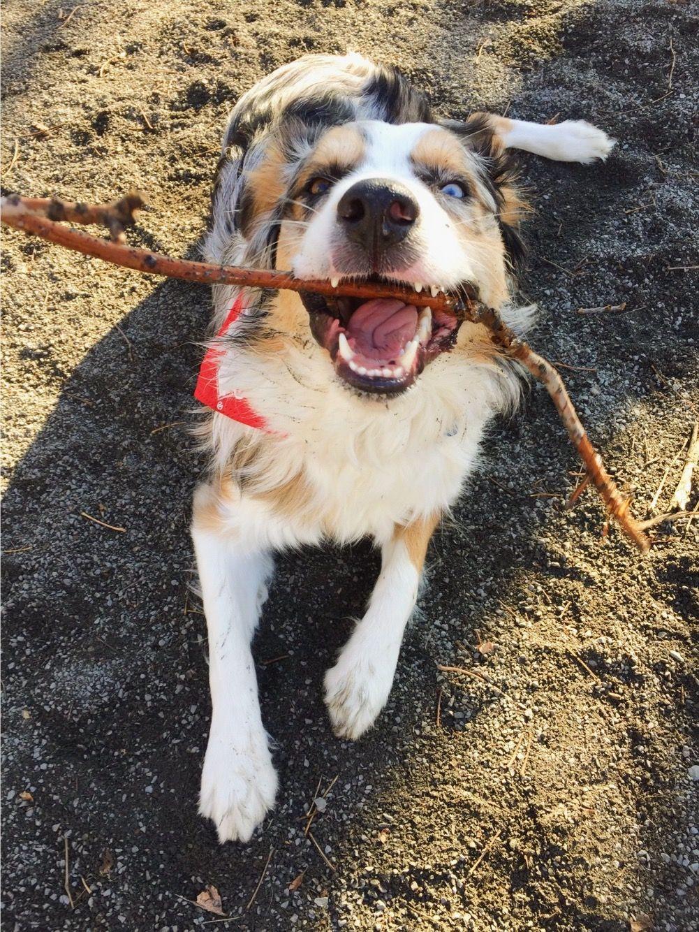 We love our office dog! dogsofinstagram puppylove