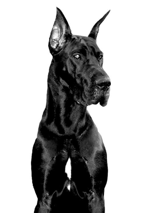 Jonnie Danes Dog Photography Great Dane I Love Dogs