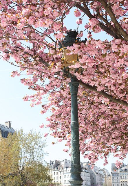 Cherryblossoms Pink Paris Paris Photography Paris In Spring Cherry Blossom
