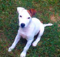 Thistleridge Kennels, Texas Jack Russell Terrier Breeders.. ahh