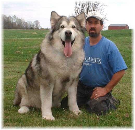 Grey And White Alaskan Malamute Dog Alaskan Malamute Alaskan